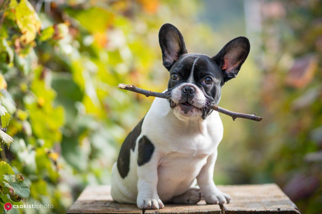young cute french bulldog posing